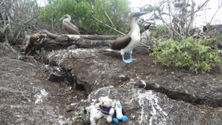 Romie-and-Boobie-Travel-More-Live-with-the-blue-footed-booby-in-Galapagos-Islands-Ecuador